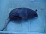 Armadillo Nine Banded
