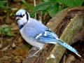 1_st_Bluejay_picture