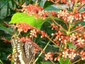 1_st_Picture,_Butterflys_&_Flowers_