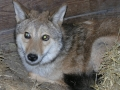 01_Coyote_pic12-18-08