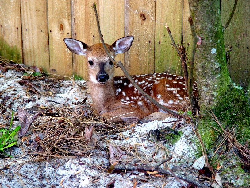 Fawn_resting