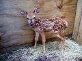 Fawn_male_2