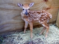 male_fawn