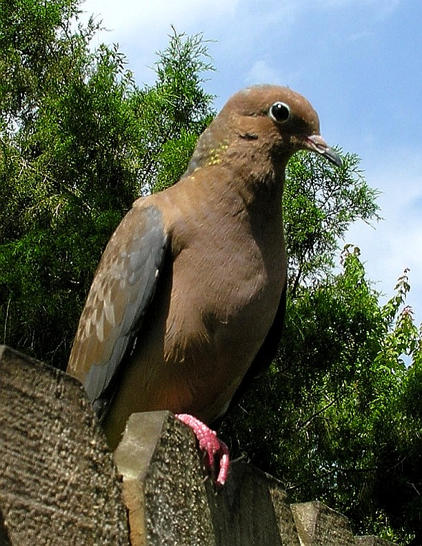 01_Dove_Mourning