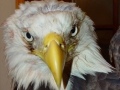 1st_Bald_Eagle_picture