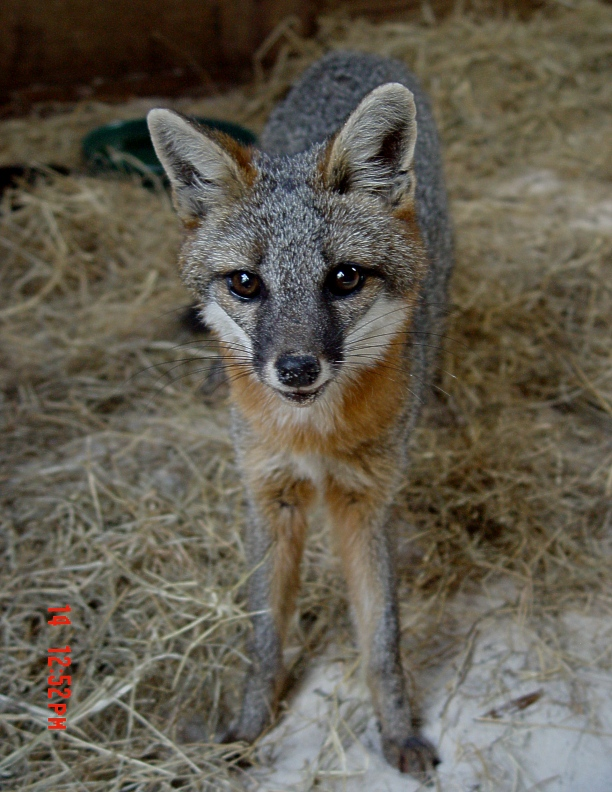 Eastern_Gray_Fox_picture