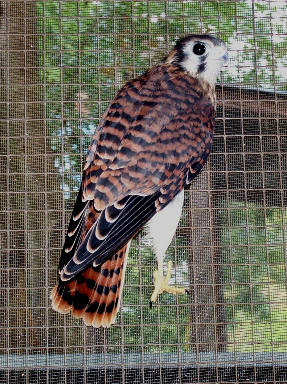 01_Red_Tailed_Hawk