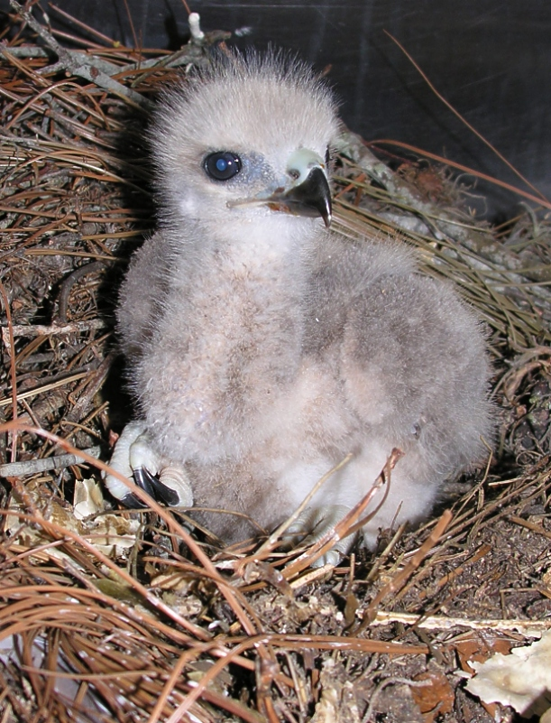 Baby_Red-Tailed_Hawk