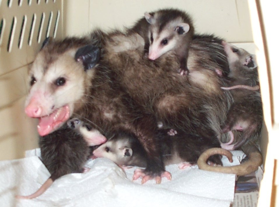 BABY_OPOSSUMS