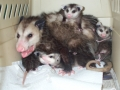 BABY_OPOSSUMS_(2)