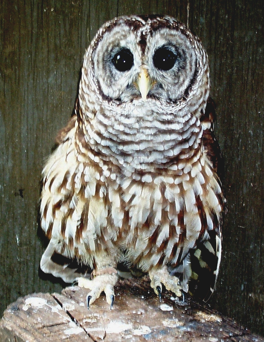 BARRED_OWL_(3)