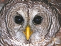 1st.Barred_Owl_picture