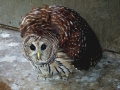 BARRED_OWL_(2)