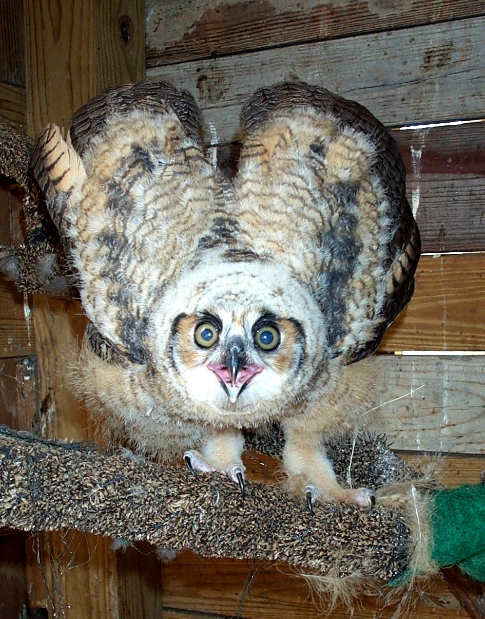 1st.GREAT_HORNED_Owl_CHICK