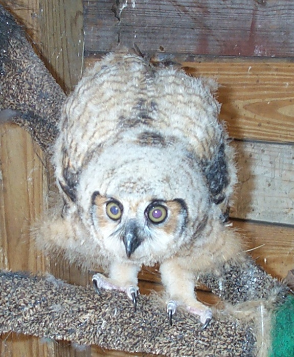GREAT_HORNED_CHICK_(2)