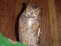 Great_Horned_OwlDSC01602
