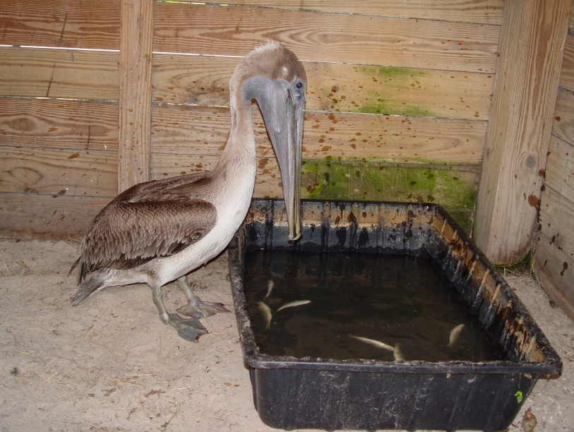 01_Brown_Pelican