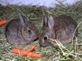Rabbit Eastern Cottontail