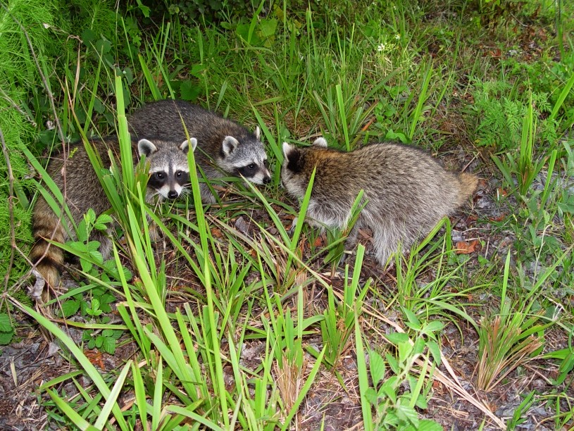 3 coons released
