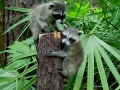 1st. Raccoon picture