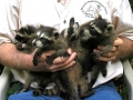 5 coons 9-21-08