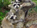 9-10-09 9AM 3 girl coons