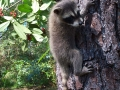 baby coon claiming