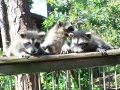 coons sunning