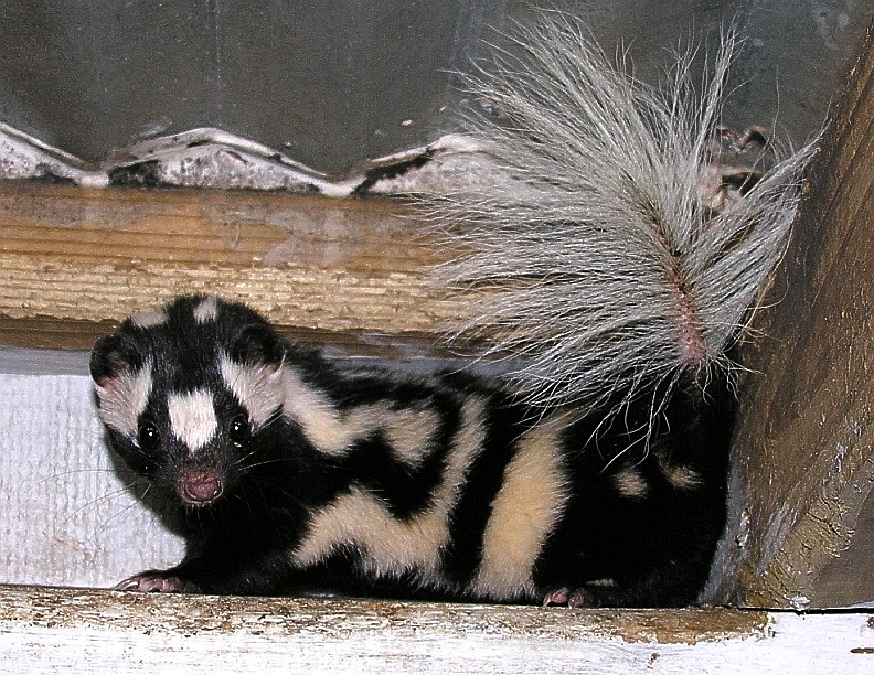 01_st._Spotted_Skunk