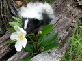 01st.Striped_Skunk