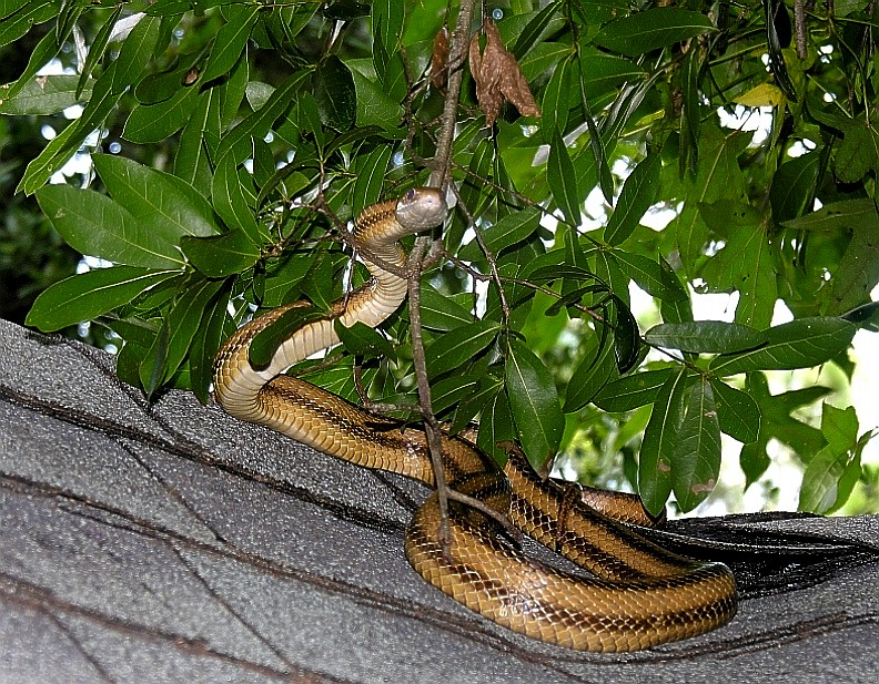 01_Yellow_Rat_Snake