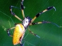 Spider Golden Silk Orbweaver