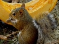 1st.Eastering_Gray_Squirrel_picture