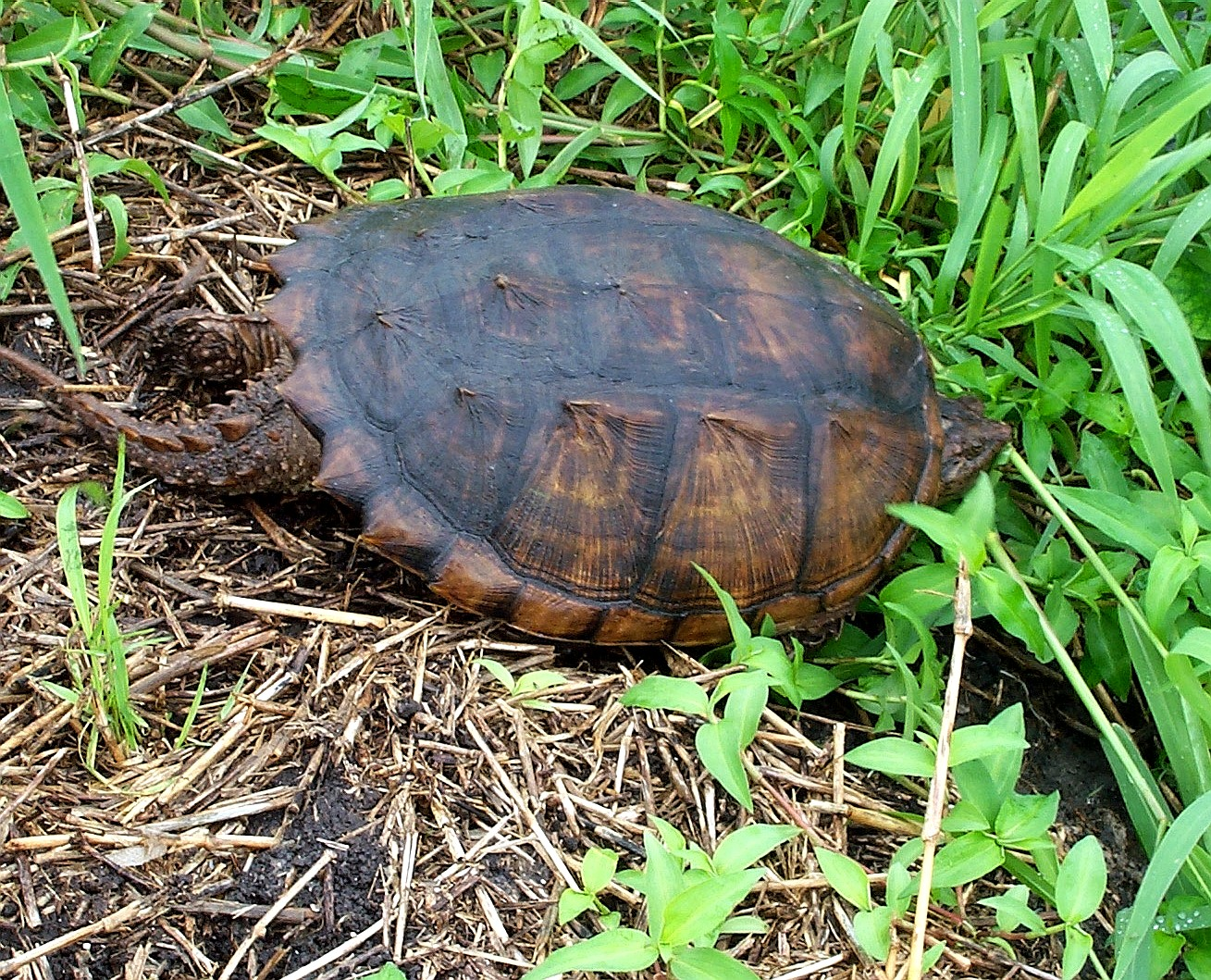 01_Snapping_Turtle