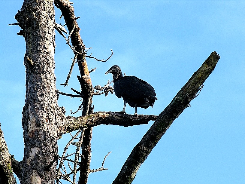 01_st_Black_Vulture