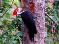 01_Pileated_Woodpecker