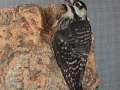 Copy_of_Red-Cockaded_Woodpecker
